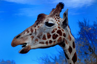 Giraffe at Mesker Park Zoo in Evansville, IN