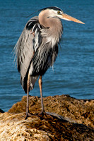 Blue Heron on Sanibel Island, FL