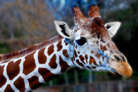 Curious giraffe at Mesker Park Zoo in Evansville, IN