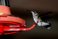 Hummingbird Eating from his Feeder